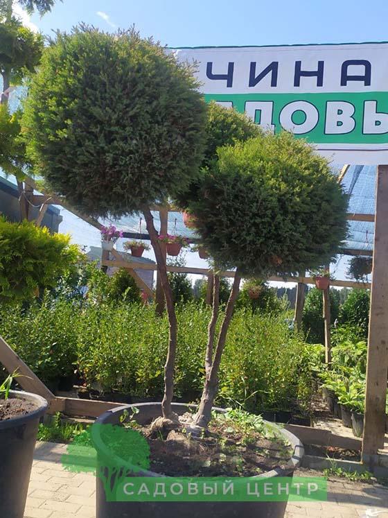 Бонсай Можжевельник 1,5-2 м