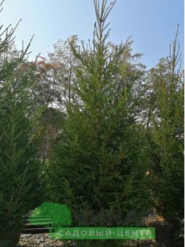 Ель обыкновенная 3,6-4 м