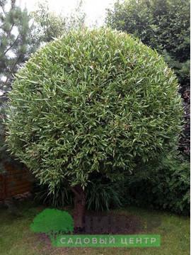 Ива Обыкновенная шар. 2,5-3 м