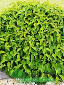 Дерен Зеленый 1-1,5 м