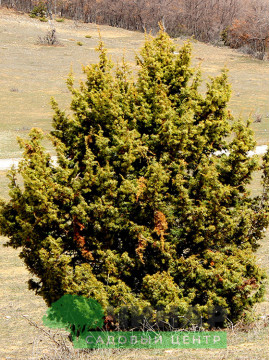 Можжевельник Колючий 1-1,2 м