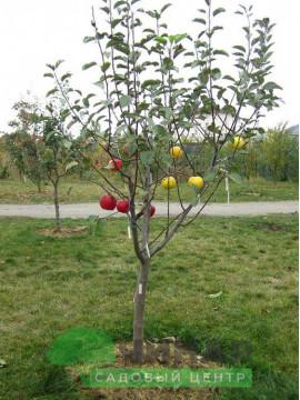 Яблоня 2 года