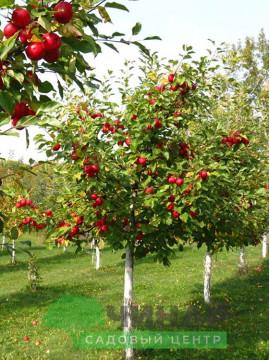 Яблоня 5-6 лет
