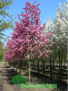 Яблоня декоративная 3,5-4 м