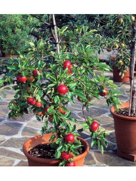 Яблоня в горшке 2-3 года
