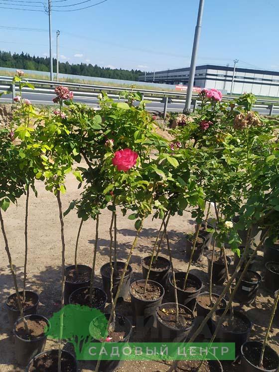 Роза Штамб 1-1,5 м