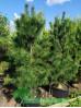 Сосна Кедровая (кедр сибирский) 2-2,5 м