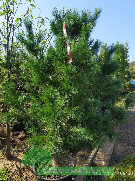 Сосна Кедровая (кедр сибирский) 1,5-2 м