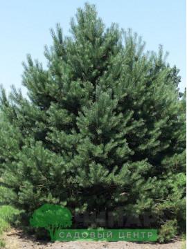 Сосна Обыкновенная 2,6-3 м
