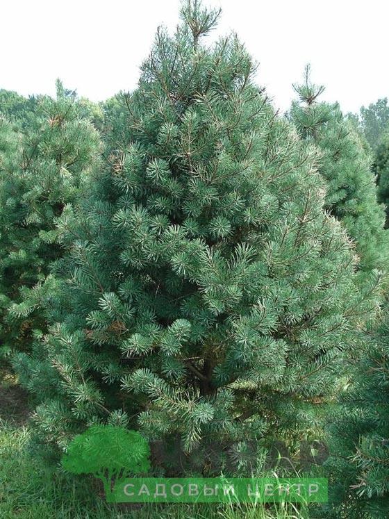 Сосна Обыкновенная 2-2,5 м